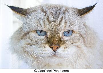 enojado, gato, con, ojos azules