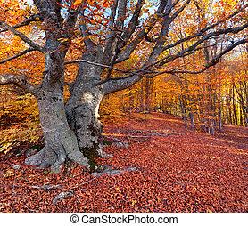 enorme, faia, em, a, coloridos, floresta outono
