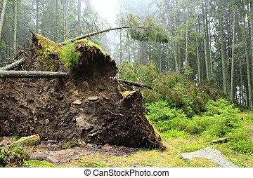 enorme, grande, furacão, cima, pinho, forest., empilhado, raizes, asseado, caído, vento, floresta