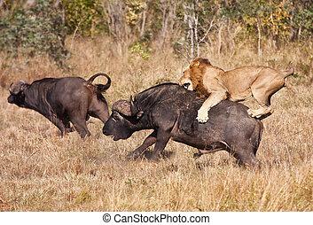 enorme, leão, ataque, touro, macho, búfalo