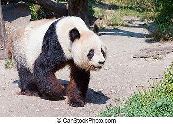 enorme, orso panda