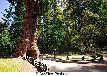 enorme, túnel, árvore, através, sequoia, footpath