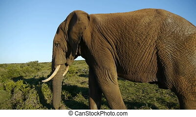 enormous african elephant