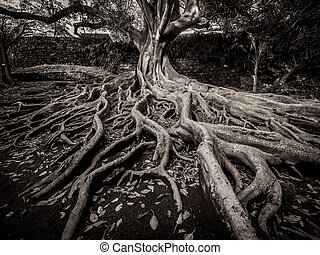 Giant roots of a tree in the José do Canto Botanical Garden in Ponta Delgada, Sao Miguel island, Azores, Portugal