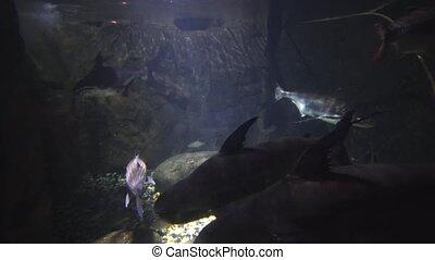 Enormous Fresh Water Fish in a Kuala Lmpur Public Aquarium -...