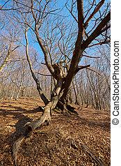 Enormous oak tree