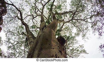 Enormous, Old Kauri Pine in Sri Lanka. FullHD 1080p footage...