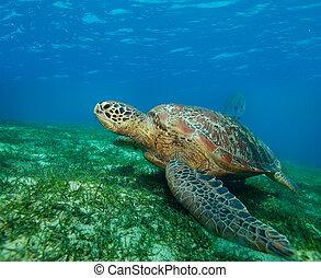 big sea turtle on the seaweed bottom on Philippines