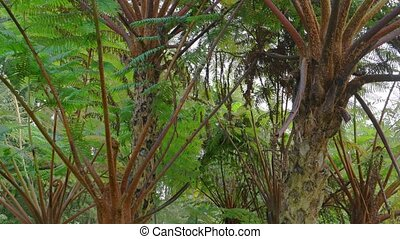 Enormous Tree Ferns, Growing in Balinese Wilderness. -...