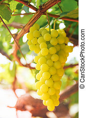 enredadera de uva, en, el, yarda, con, retro, filtro, efecto