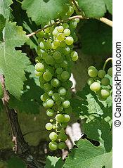 enredadera de uva