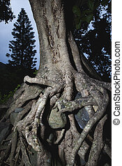 enredado, árbol, raíces