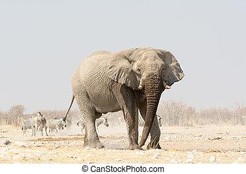 ensam, elefant, hos, a, waterhole, med, zebra, in, den, bakgrund