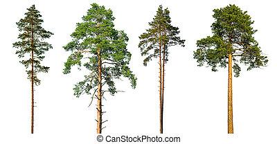 ensemble, isolé, arbres, arrière-plan., pin, grand, blanc