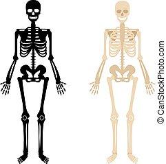 ensemble, squelette, humain