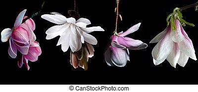 ensemble, sur, arrière-plan noir, fleurs, magnolia