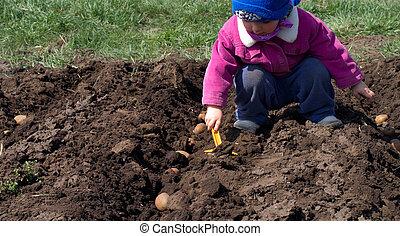 ensemencer, girl, peu, pomme terre, semailles, process., rang, mignon