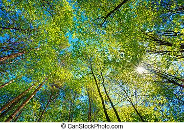 ensolarado, dossel, de, alto, árvores., luz solar, em,...