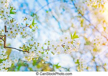 ensolarado, flores mola, de, florescer, árvore cereja, instagram, stile