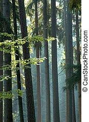 ensolarado, floresta, manhã