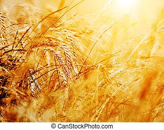 ensolarado, trigal, close-up., agricultura, fundo