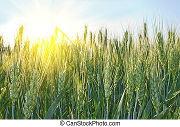 ensoleillé, blé, jour, champ