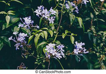 ensoleillé, extérieur, fleurs, arrière-cour, bleu, plumbago, plante