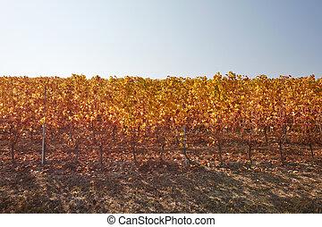 ensoleillé, feuilles, vigne, jaune, jour automne, rang