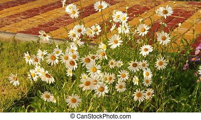 ensoleillé, fleurs, camomille, jour