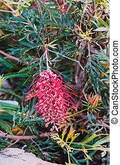 ensoleillé, indigène, grevillea, rouges, extérieur, fleurs, arrière-cour, australien, plante