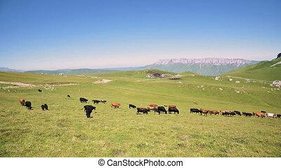 ensoleillé, innal, bétail broutant, pied, agriculture, été, ...