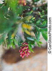 ensoleillé, rouges, arrière-cour, indigène, extérieur, grevillea, plante, australien
