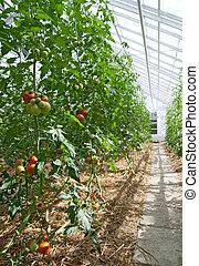 ensoleillé, serre, tomates