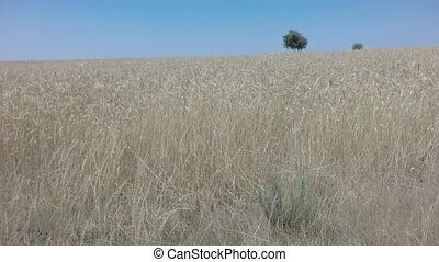 Entering wheat field, shallow depth of field - Top view...
