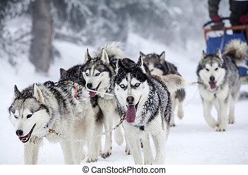 enthousiaste, chien, race., équipe, chiens, sledding