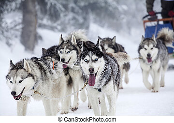 Enthusiastic team of dogs in a dog sledding race. -...