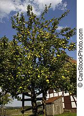 entiers, arbre, verger pomme