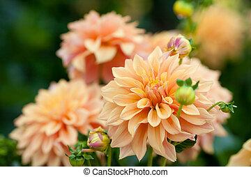 entiers, jardin, closeup, orange, dahlia, fleurs, fleur