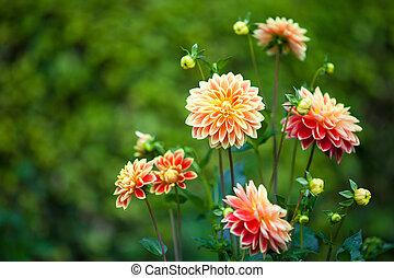 entiers, jardin, jaune, closeup, orange, dahlia, fleurs, fleur