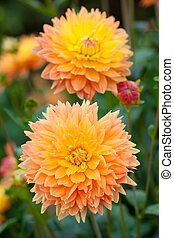 entiers, jardin, jaune, orange, dahlia, fleurs, fleur