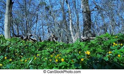 entiers, spring., printemps, jaune, tôt, flowers., forêt