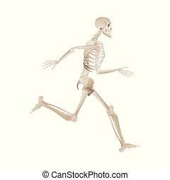 entiers, squelette, mouvement, courant, humain, en avant!