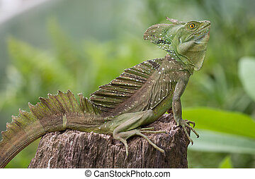 Green Iguana sitting in Costa Rica with green and blurred background