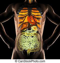 entrailles, radiographie, humain, balayage