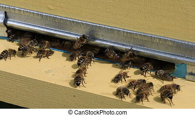 Entrance to the hive - Honey bees fly in and fly out of the...