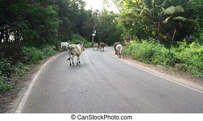 entre, chaussée, vaches, forests., troupeau