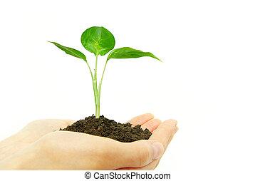 entre, manos, planta