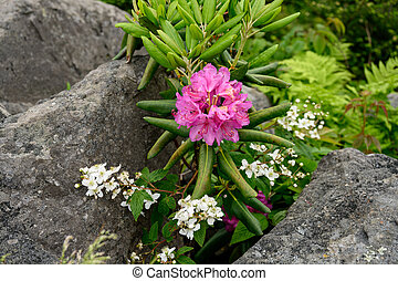 entre, rhododendron, galets, fleurs