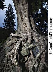 entrelaçado, árvore, raizes