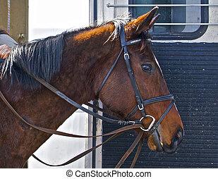 entrenador, parade., caballo, el suyo, esto, preparado, ser,...